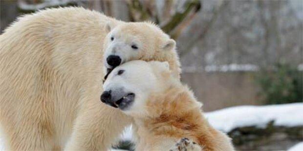 Kastration von Eisbär Knut gefordert