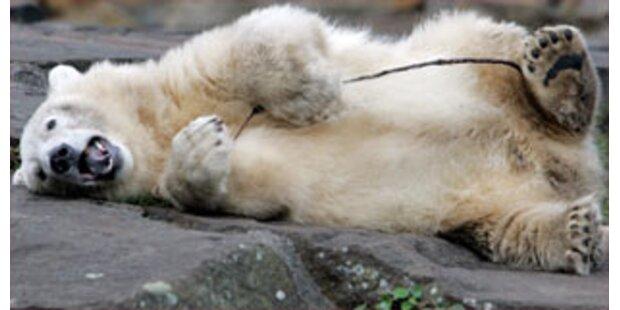 Eisbär greift Tierarzt an