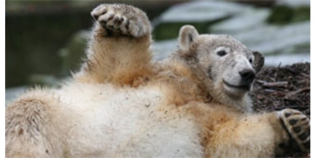 Wird Knut ein Hollywood-Star?