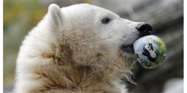 Ex-Kinderstar Knut vor Abschiebung