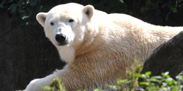 Damen-Trio bedrängt Eisbär Knut