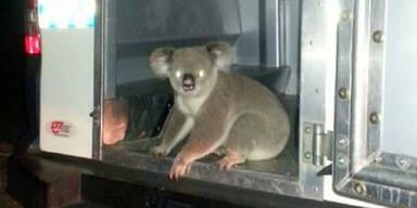 Polizei nimmt Koala-Bären fest
