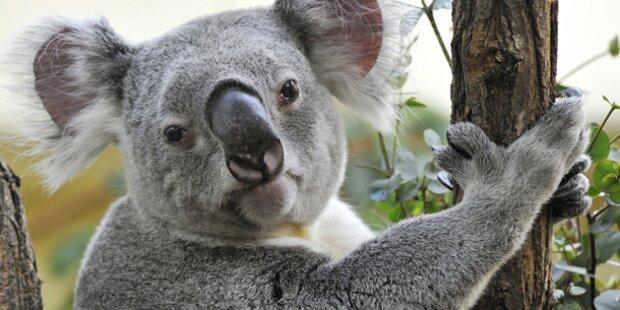 Süßer Koala musste eingeschläfert werden