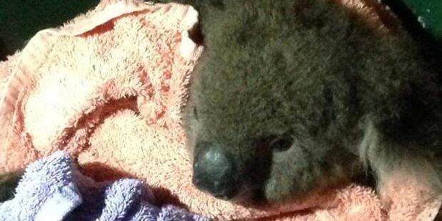 Hier wird ein Koala Mund-zu-Mund beatmet