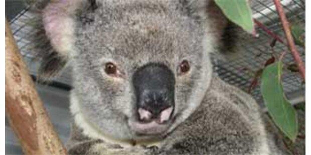 Koala 12 Kilometer von Auto mitgeschleift