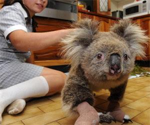 koala_300