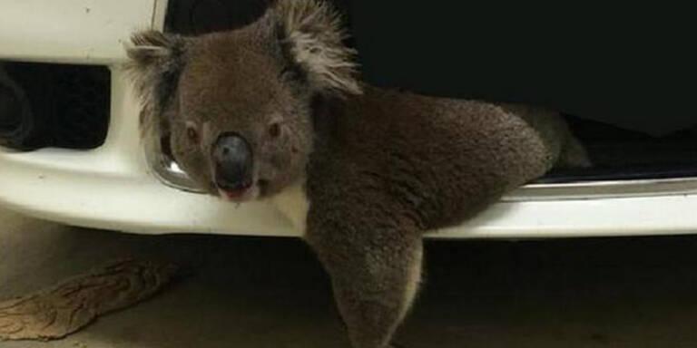 10-km-Fahrt mit Koala im Kühlergrill