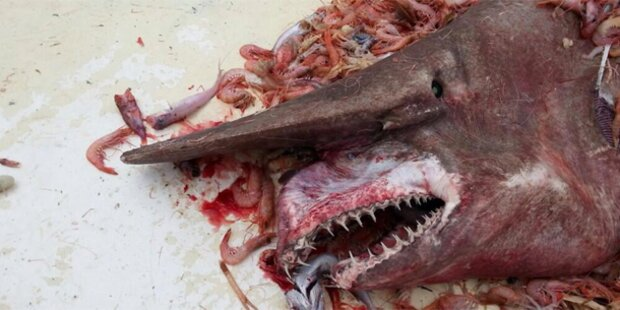 Fischer fängt seltenen Kobold-Hai