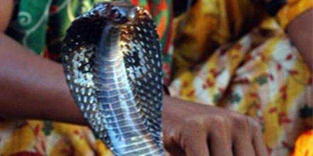 Giftige Kobra macht Haus unbewohnbar