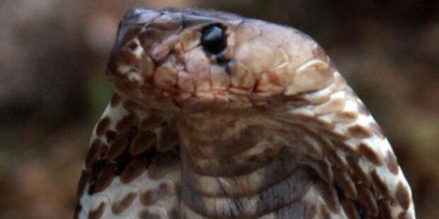 Ausgebrochene Kobra hält Stadt in Atem