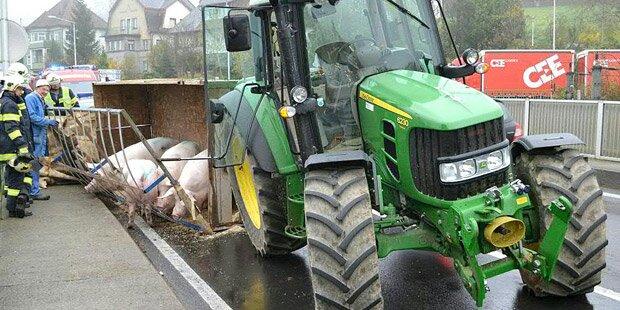 Schweinetransporter kippt um