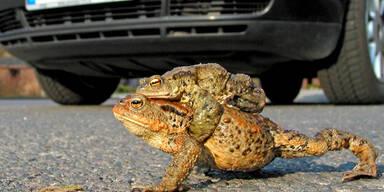 Amphibienwanderung soll geschützt werden