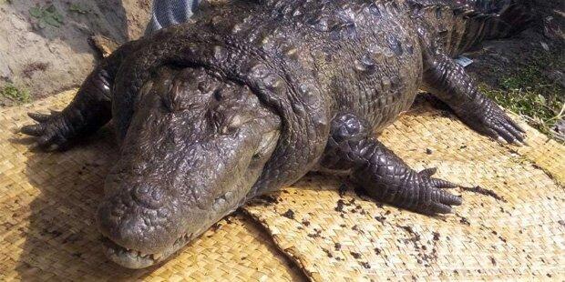 Heiliges Krokodil stirbt mit 100 Jahren
