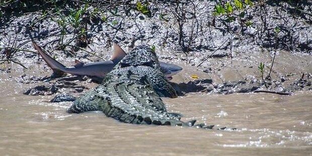 Krokodil kämpft gegen Hai