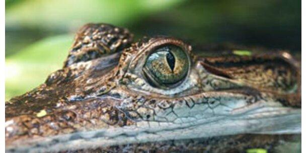 Krokodile nutzen Lungen als mobile Schwimmblase