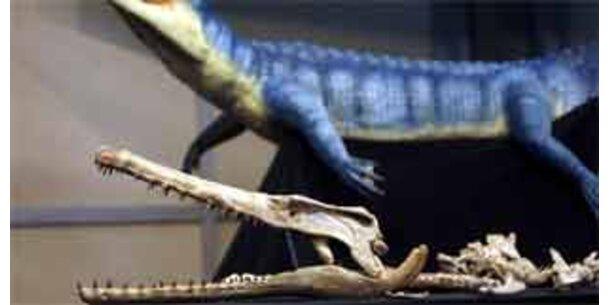 Forscher zeigen 62 Mio. Jahre altes Krokodil