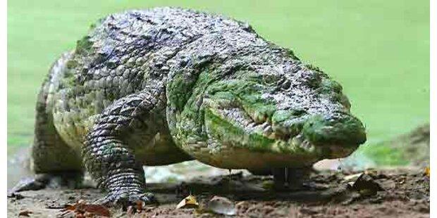 Mehr als 250 Krokodil-Babys in Fluggepäck entdeckt