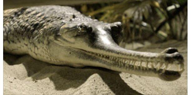 Krokodile weinen tatsächlich beim Essen
