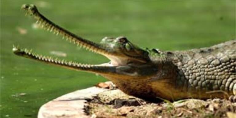 Krokodil-Sterben durch Leber-Zirrhose in Indien