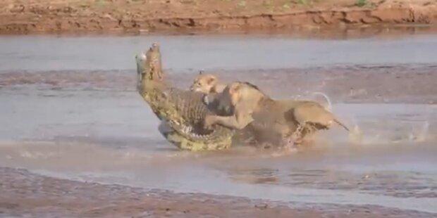 VIDEO: Krokodil kämpft mit Löwen