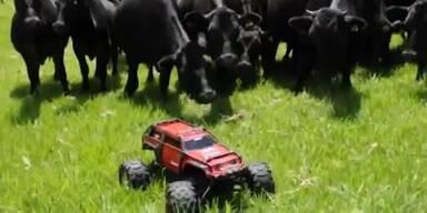 Kühe jagen ferngesteuertes Auto