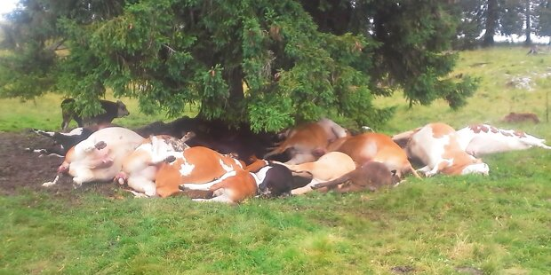 Blitz trifft Kuh-Herde: Nur