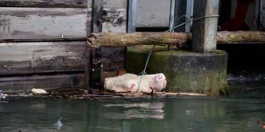 Entlaufene Kuh sprang in Mühlbach
