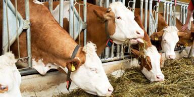 Kühe drehten Google das Internet ab