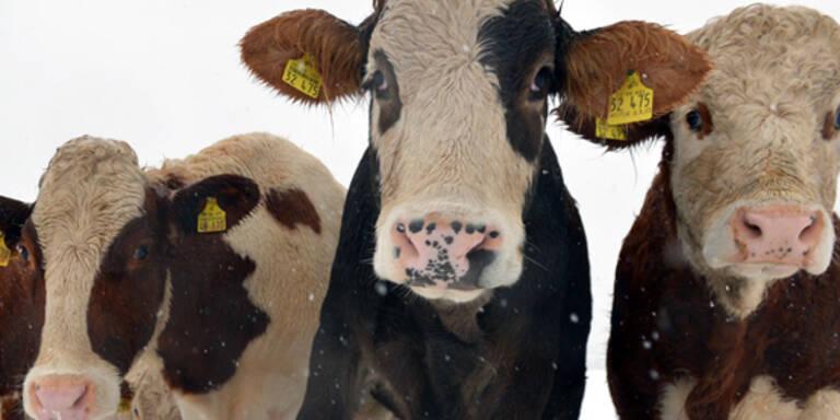 Trotz des ersten Schnees harren diese Kühe in Sieblos (Deutschland) auf der Weide aus.