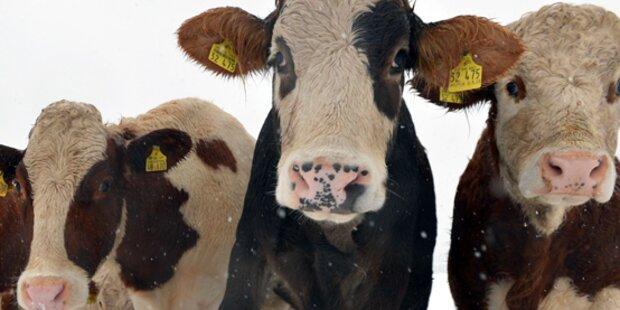 Kühe attackierten deutsches Ehepaar