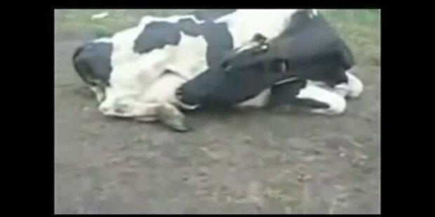 Kuh trinkt aus eigenem Euter
