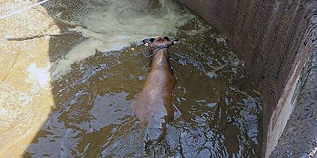 Kuh fiel in Jauchengrube