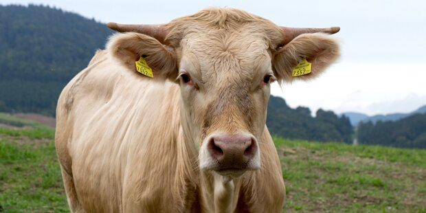 Entlaufene Kuh aus Bach geborgen