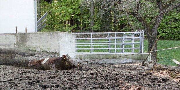 Trächtige Kuh fiel in Güllegrube