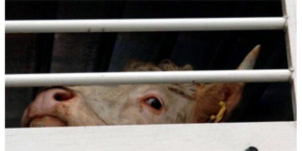 Notschlachtung nach unsachgemäßem Tiertransport