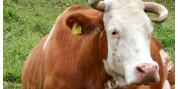 Österr. Kuh wirbt für Schweizer Fleisch