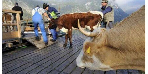 Zugsverkehr wg entlaufener Kühe gesperrt