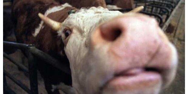 Polizei erschießt panische Kuh in Bayern