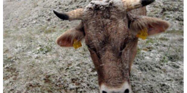 Eutererkrankung hat sich im Bregenzerwald ausgebreitet