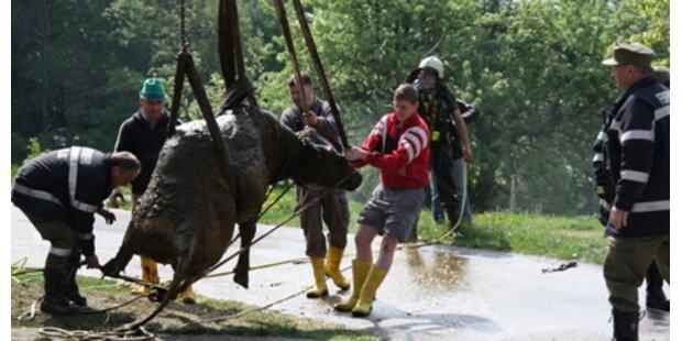 Feuerwehr rettete Kuh aus Güllegrube