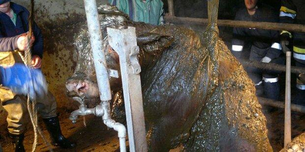 800-Kilo-Kuh stürzt in Jauchegrube