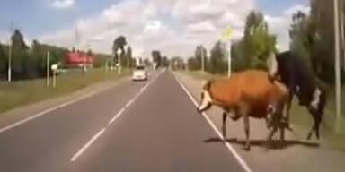 Auto rammt Rinder beim Schäferstündchen