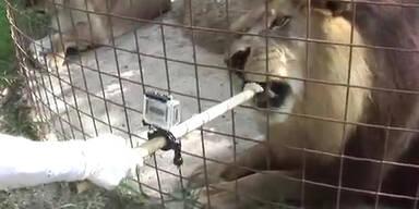 Hitze: Löwe kühlt sich mit einem Eis ab