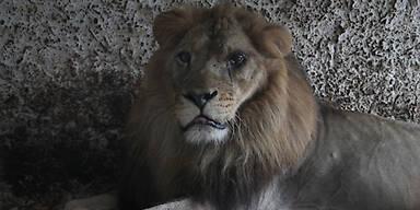 Mann in Zoo von einem Löwen getötet