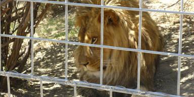 Kalifornien: Löwe tötet Tierpflegerin