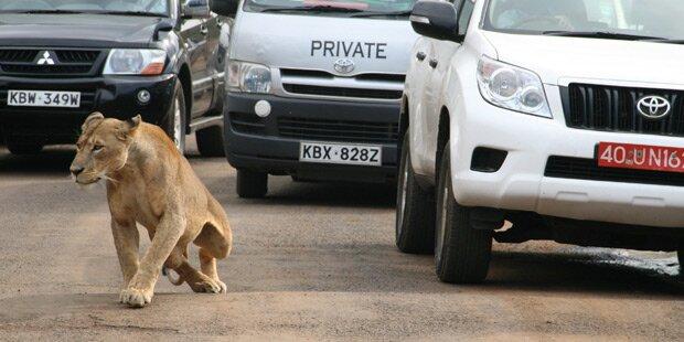 Wilder Löwe attackiert Fußgänger
