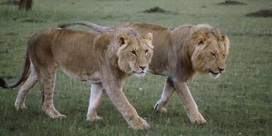Berühmte BBC-Löwen in Kenia vergiftet