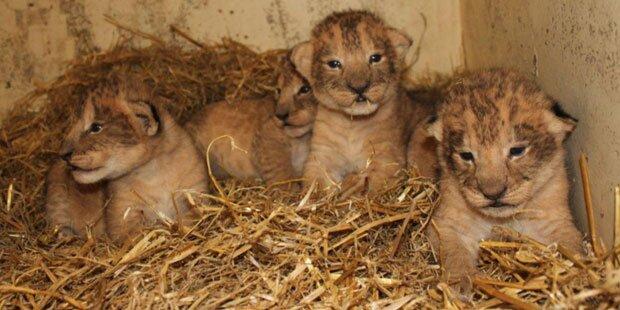 Zoo in Schweden tötet 9 gesunde Löwen