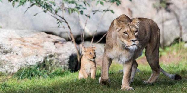 Schwedischer Zoo tötete neun gesunde Löwenbabys