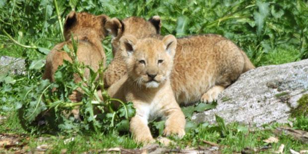 Schweden: Zoo tötete aus Platzmangel neun gesunde Löwenjunge